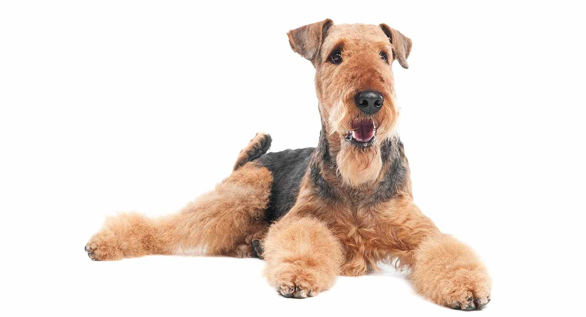 large terrier breeds