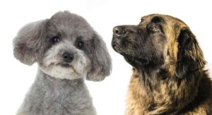 Leonberger Poodle Mix – What Sort Of Family Pet Will This Mix Make?