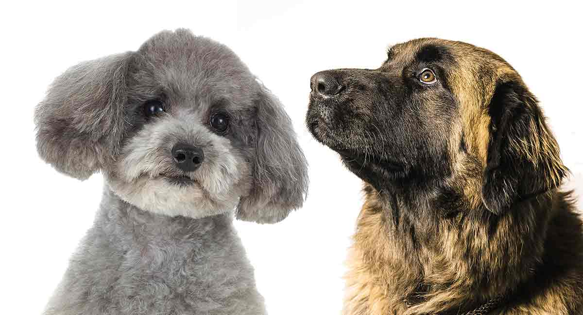 Leonberger Poodle Mix What Sort Of Family Pet Will This