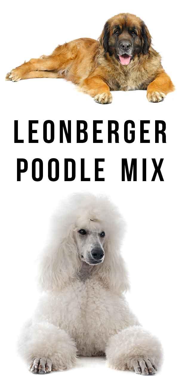leonberger poodle mix