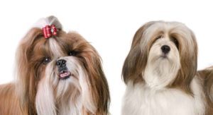 Lhasa Apso vs Shih Tzu – Do You Know How to Tell Which Is Which?