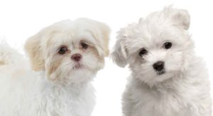 Maltese vs Shih Tzu – Which Pint Sized Pup Would You Prefer?