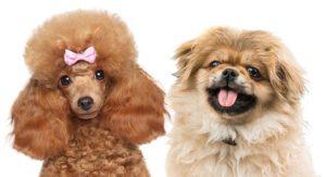Peekapoo Dog Breed – The Pekingese Poodle Mix