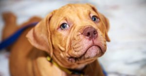 Red Nose Pitbull Facts – 30 Things You Never Knew