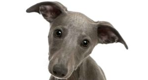 9 Whippet Mixes – Whippet Cross Dogs and Why We Love Them