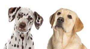 Dalmatian Lab Mix – What Can You Expect From This Cute Cross?
