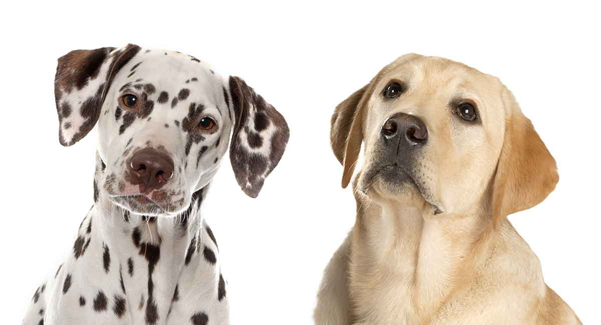 Dalmatian Lab Mix What Can You Expect