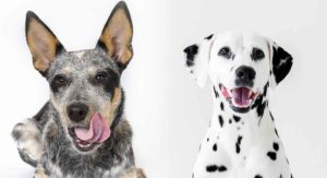 Blue Heeler Dalmatian Mix – Is This Hardworking Hybrid Right For You?