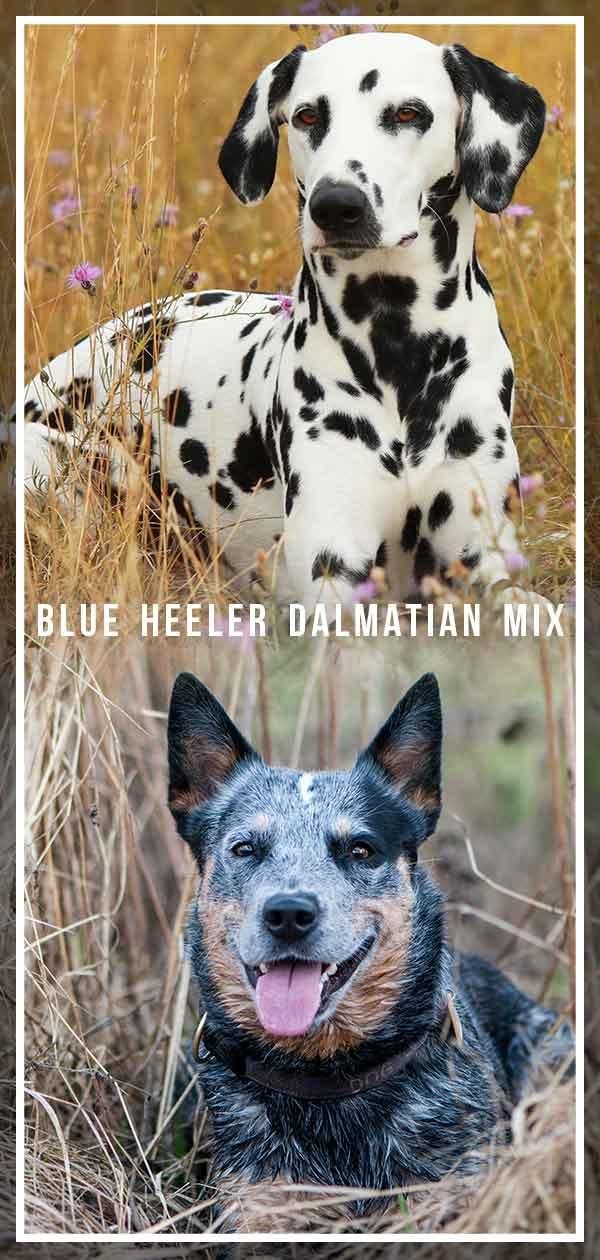 Blue Heeler Dalmatian Mix