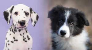 Border Collie Dalmatian Mix – The Best Of Both Worlds?