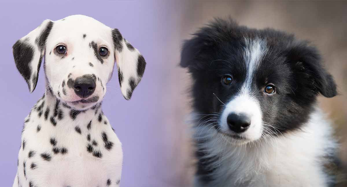 Border Collie Dalmatian Mix The Best Of Both Worlds