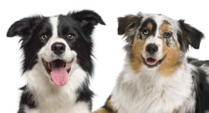 Border Collie Vs Australian Shepherd – Helping You Decide Between Two Intelligent Breeds