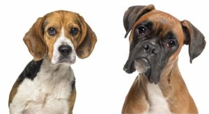 Boxer Beagle Mix – Does This Cross Make A Great Family Pet?