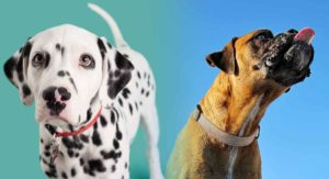 Dalmatian Boxer Mix: When Personality and Beauty Collide