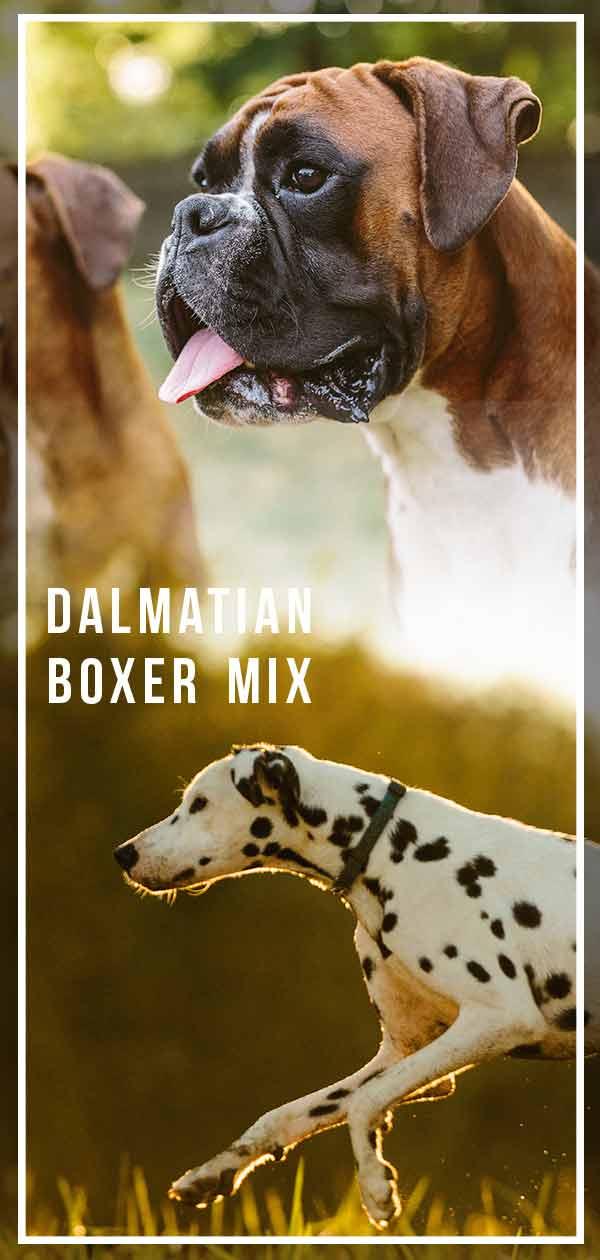 Dalmatian Boxer Mix