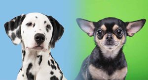 Dalmatian Chihuahua Mix: A Cross of Two Very Different Breeds