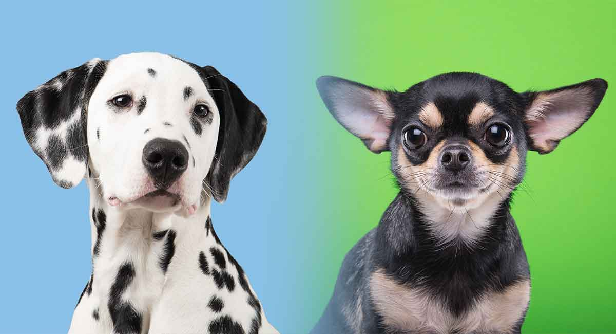 dalmatian chihuahua mix dalmatian chihuahua mix a cross of two very different breeds 6272