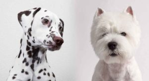 Dalmatian Terrier Mix – A Fun and Energetic Cross Companion