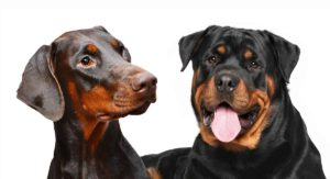 Doberman Vs Rottweiler – Which One Will Suit You Best?
