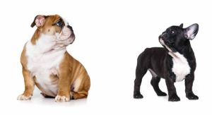 French Bulldog vs English Bulldog –  Differences and Similarities