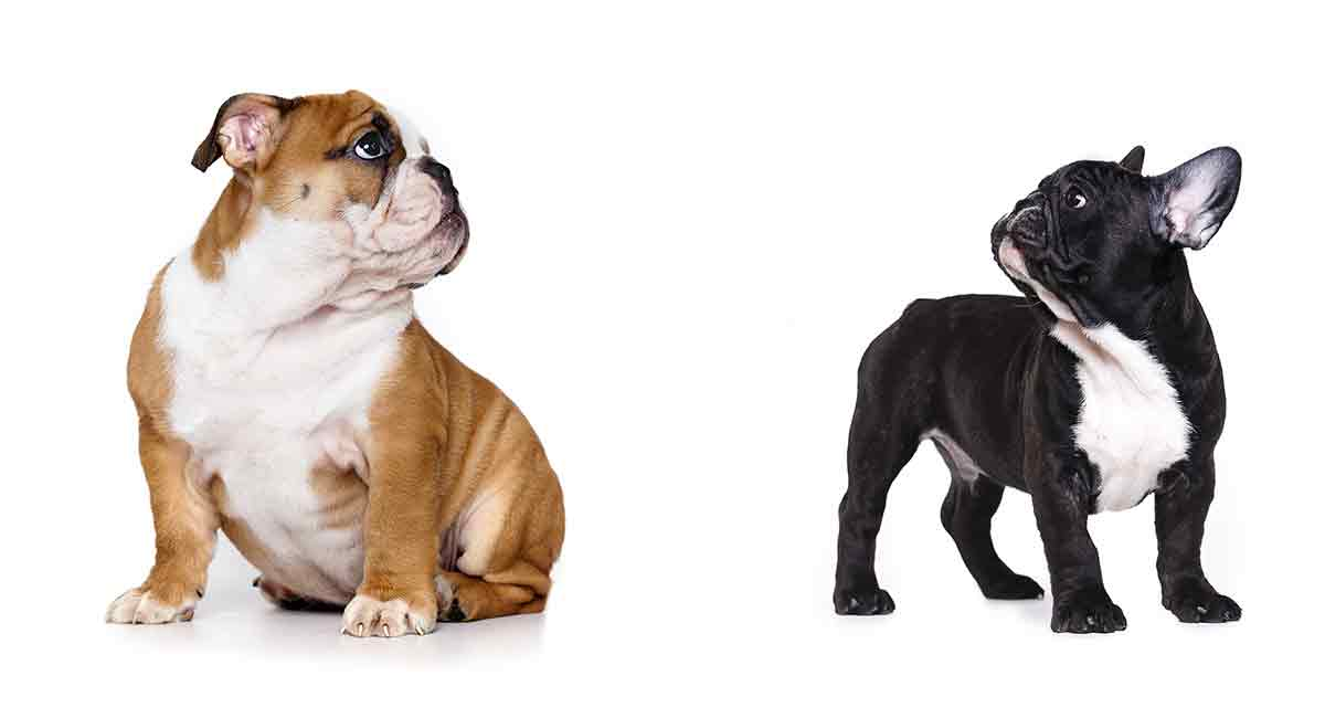 French Bulldog Vs English Bulldog Which Pet Is Right For You Frenchie World Shop