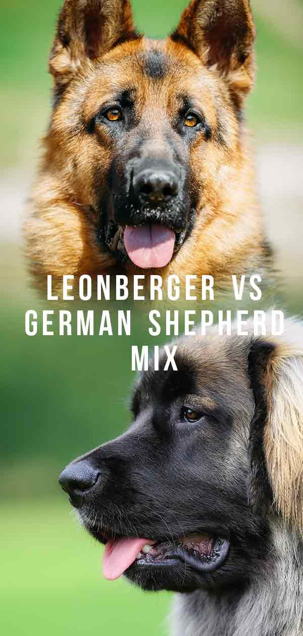 Leonberger German Shepherd Mix Family Pet Or Guard Dog