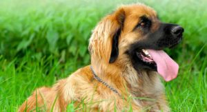 Leonberger Life Expectancy and Health: How Healthy Is This Cuddly Giant?