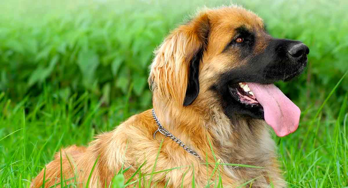 leonberger life expectancy and health