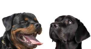 Rottweiler vs Labrador: Which Dog Is Right for Your Family?
