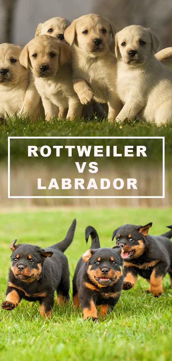 rottweiler vs labrador