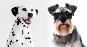 Schnauzer Dalmatian Mix – What Will This Crossbreed Be Like?