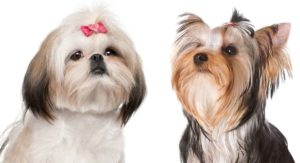 Shih Tzu vs Yorkie – Which Makes The Better Pet?
