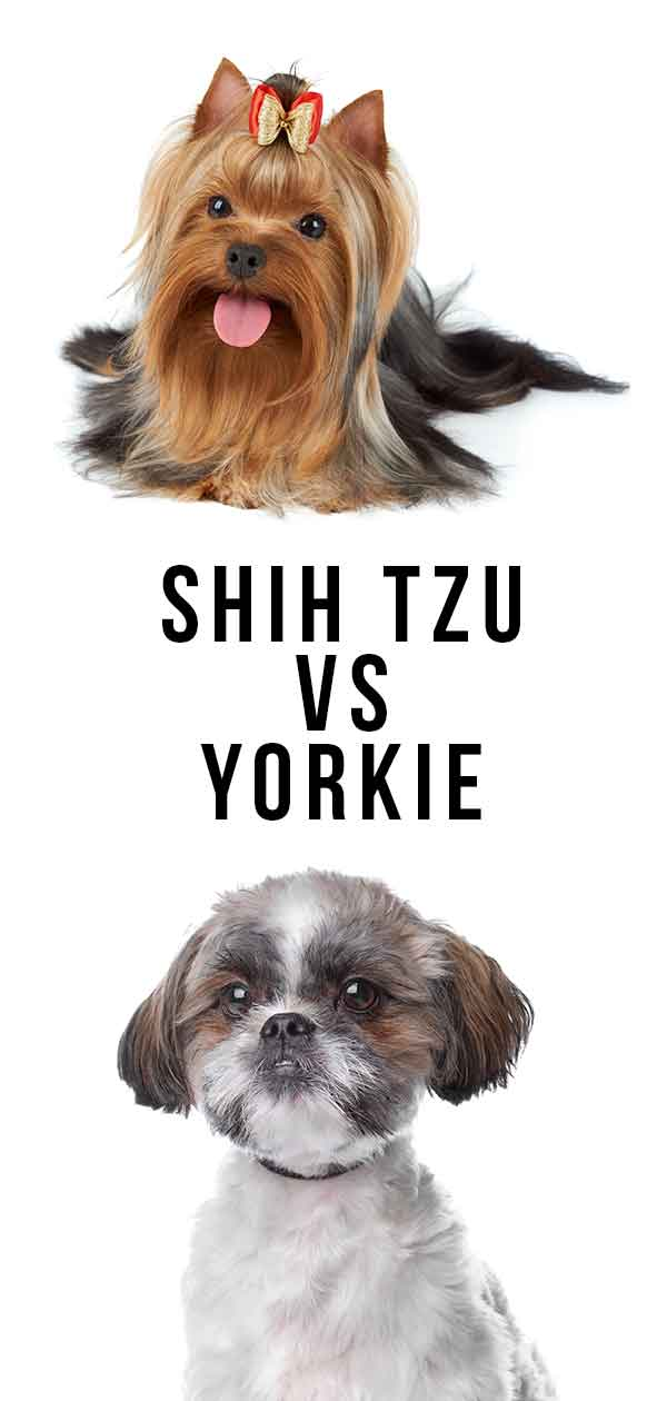 Shih Tzu Vs Yorkie Which Makes The Better Pet