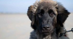 The Leonberger – A Complete Guide To The Breed