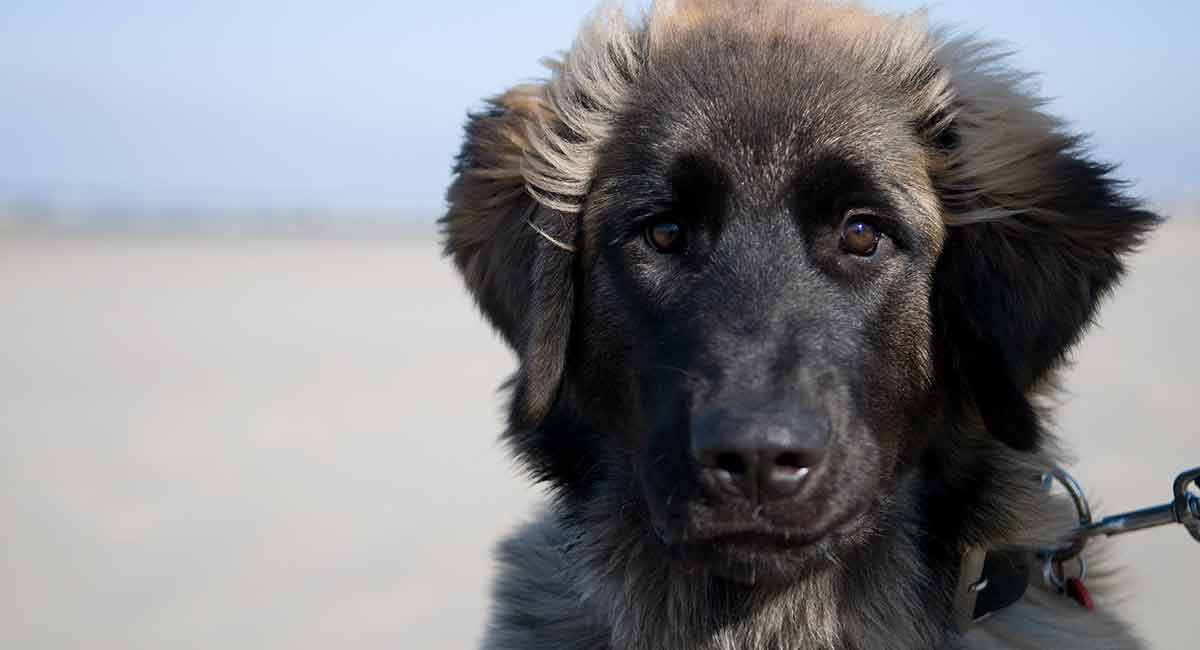 Learn about the Leonberger!