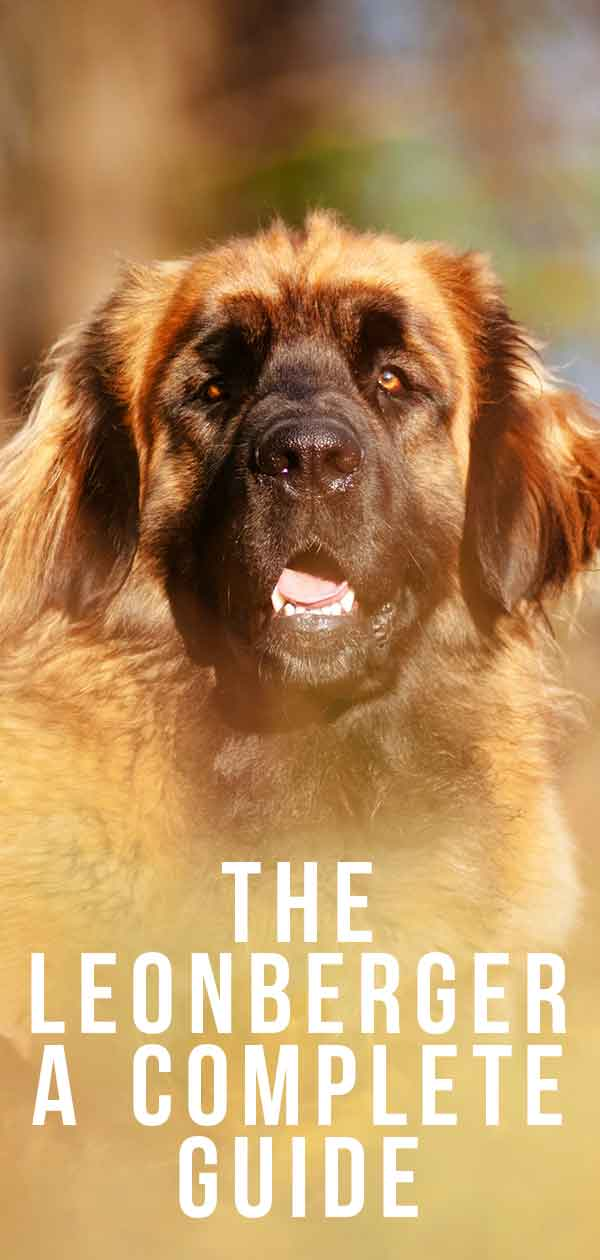 The Leonberger large dog breed