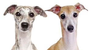 Whippet Vs Italian Greyhound – Which Speedy Breed Is Right For You?