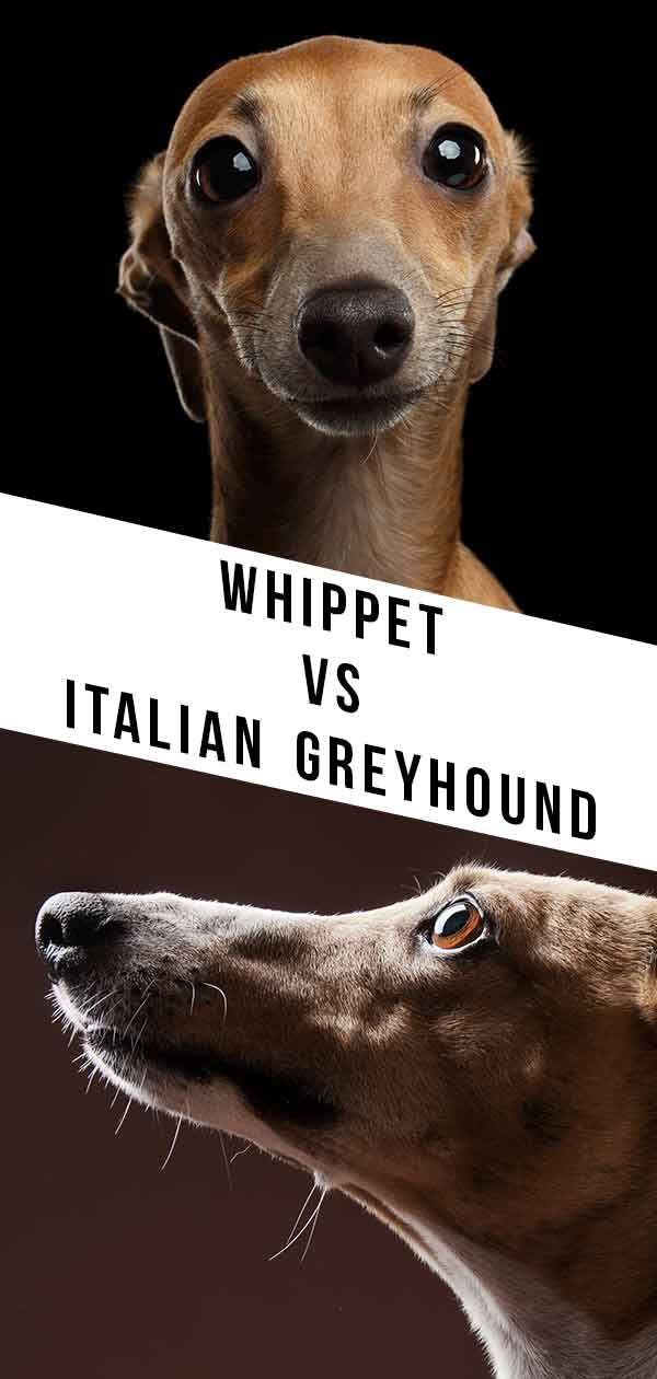 Whippet Vs Italian Greyhound
