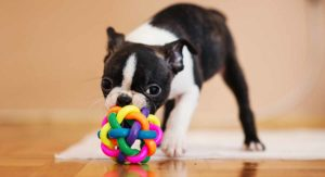 The Mini Boston Terrier – Is This Tiny Dog A Good Pet?