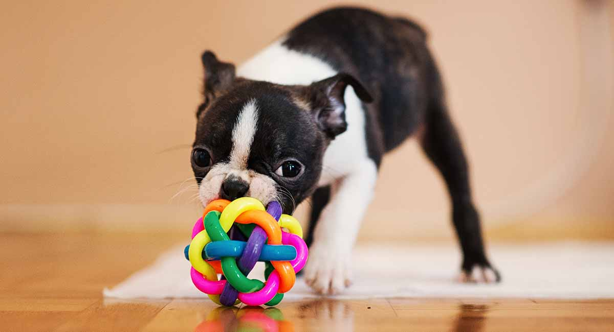 mini boston terrier