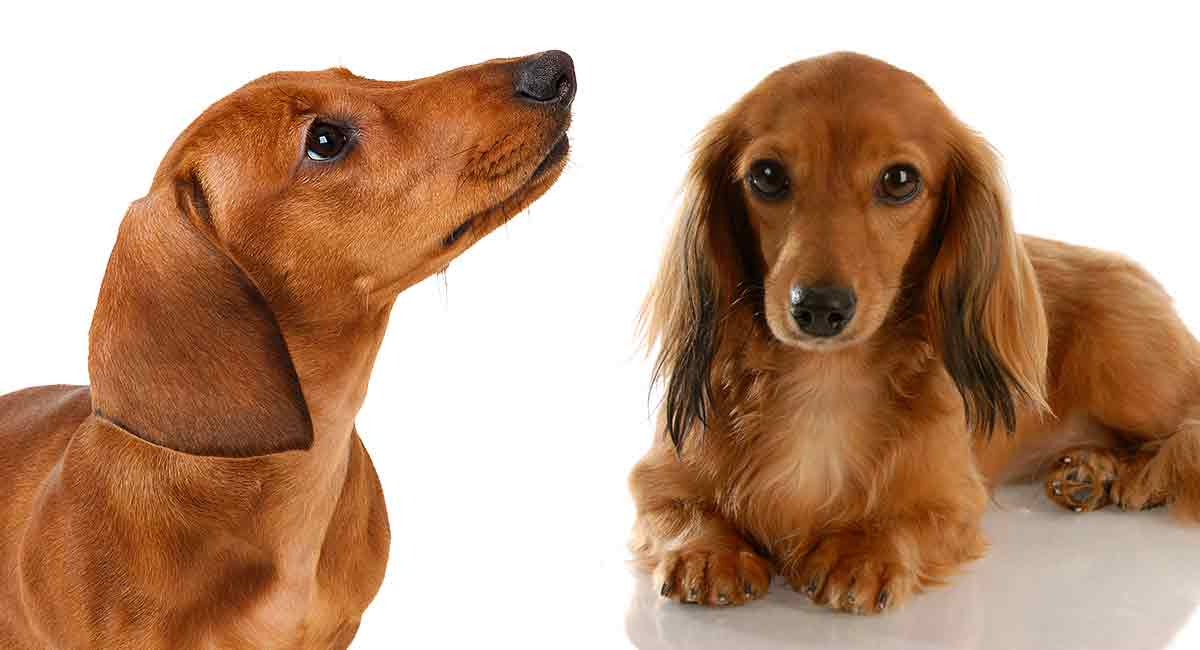 Miniature Dachshund Vs Standard Is