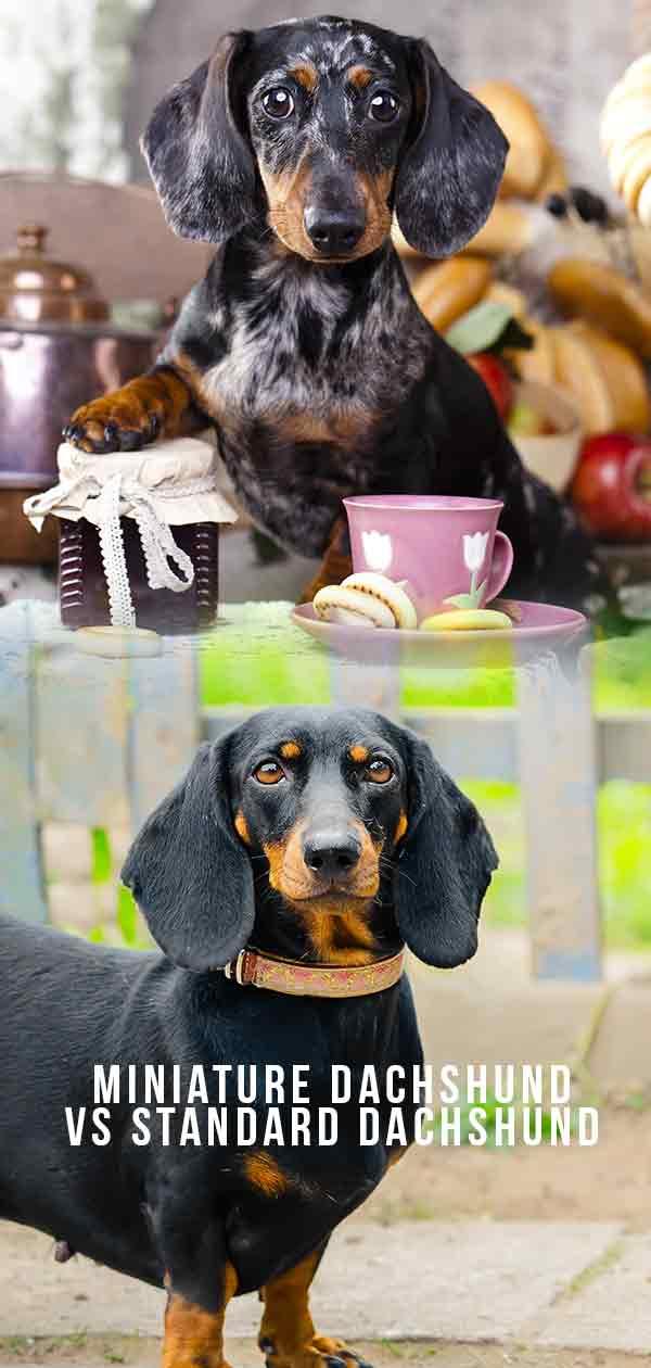 miniature dachshund vs standard