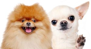 Pomeranian vs Chihuahua – Which Tiny Dog Is Right for You?