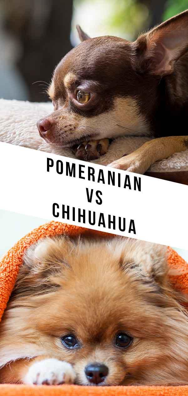 pomeranian vs chihuahua