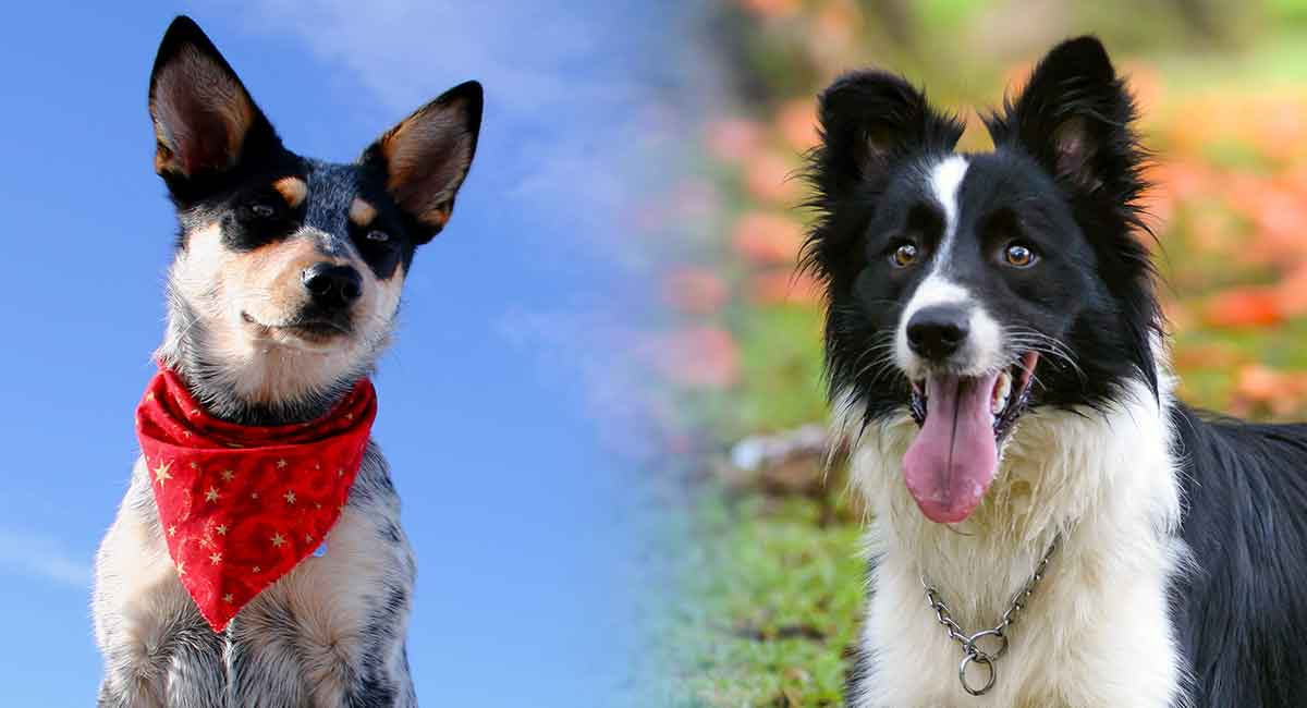 Blue Heeler Border Collie Mix A Loyal And Energetic Companion