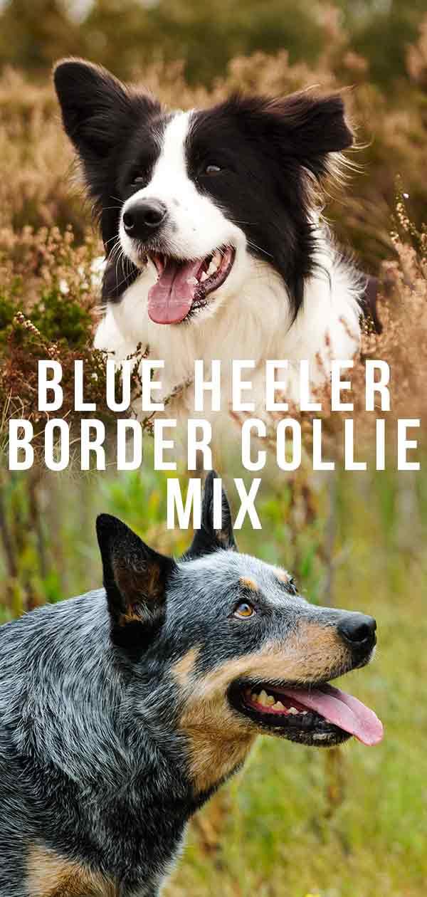 Blue Healer Border Collie Mix