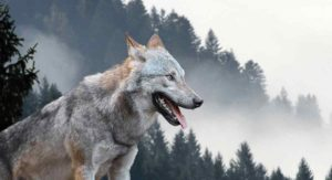 Female Wolf Names – 180 Striking Ideas
