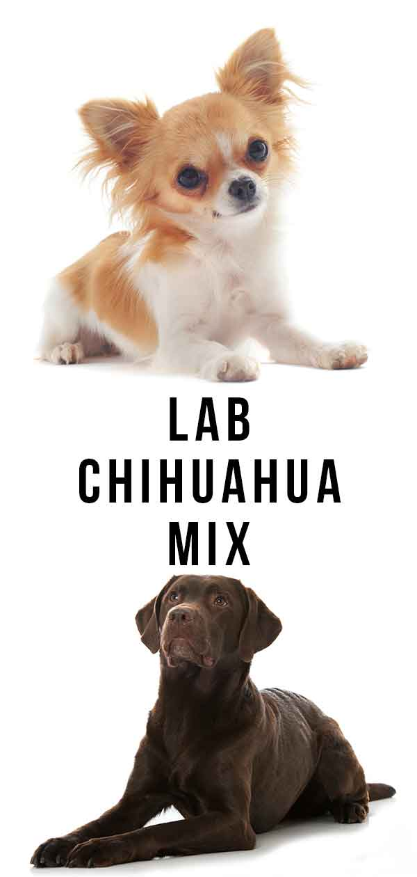 lab chihuahua mix
