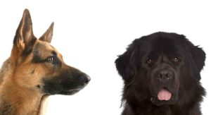 Newfoundland German Shepherd Mix – Is This Big Hearted Hybrid Right For You?
