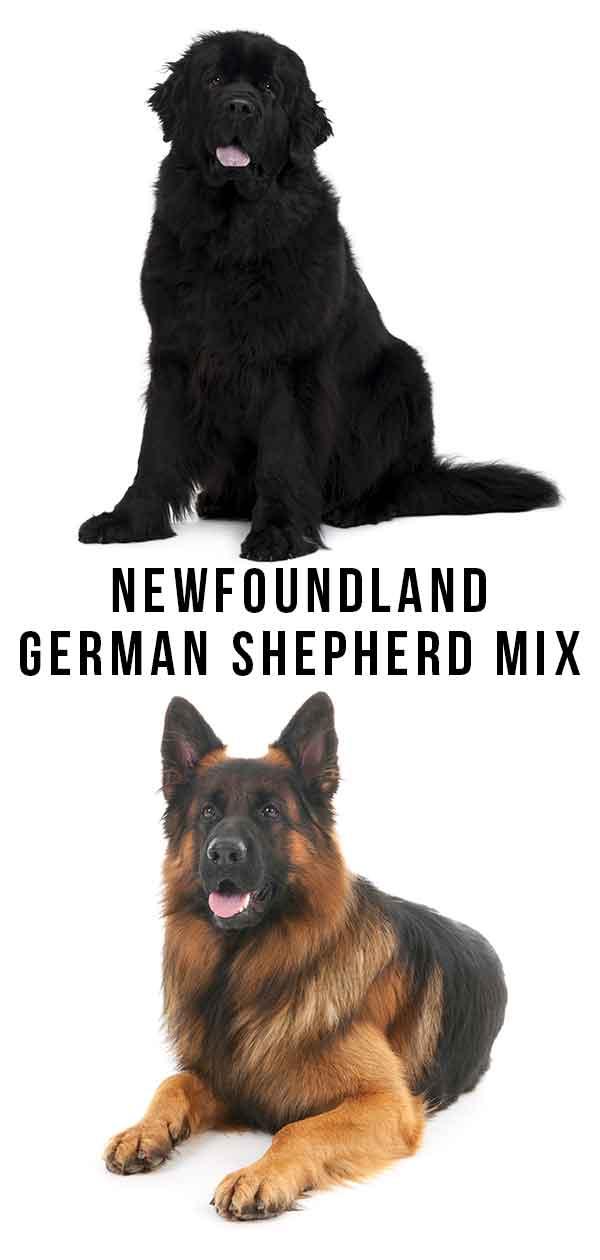 Newfoundland German Shepherd Mix